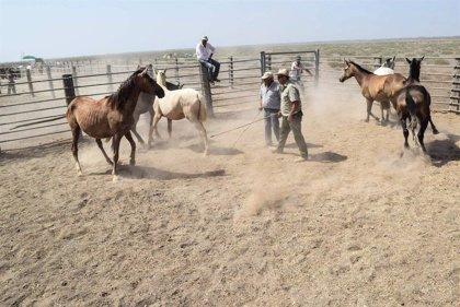 Hinojos (Huelva) suspende la Recogida de las Yeguas y por segundo año el ganado permanecerá en la marisma