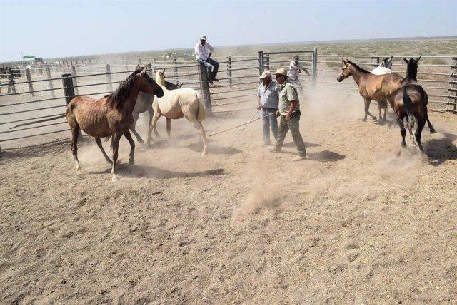 Faenas ganaderas realizadas en los encerrados de la Choza del Pastor de la Marisma de Hinojos.