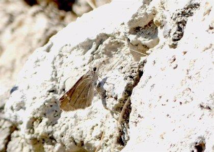 La mariposa veloz balear está presente en s'Albufera de Mallorca