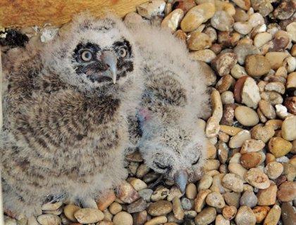 Nacen dos crías de búho chico de una pareja en recuperación en el Centro La Tahonilla