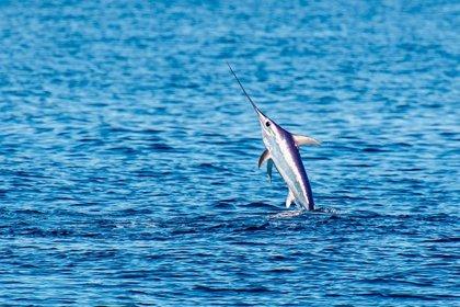 Carrefour ratifica su apuesta por el sector pesquero español tras un acuerdo para comprar pez espada de Roquetas de Mar