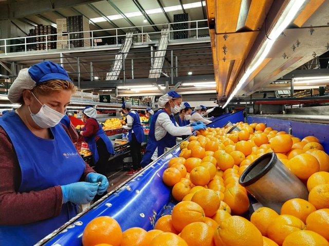 Manipulado de naranjas en una cooperativa