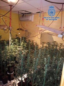 La Policía Nacional encuentra una plantación de marihuana oculta en un local dedicado a celebraciones y actividades de ocio