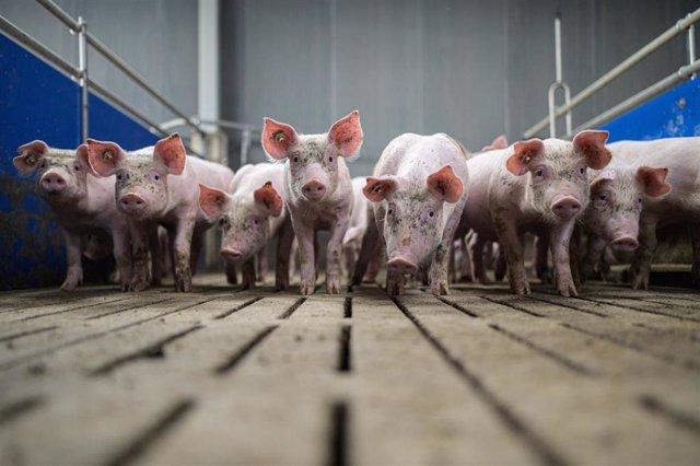 Cerdos en una granja en Alemania