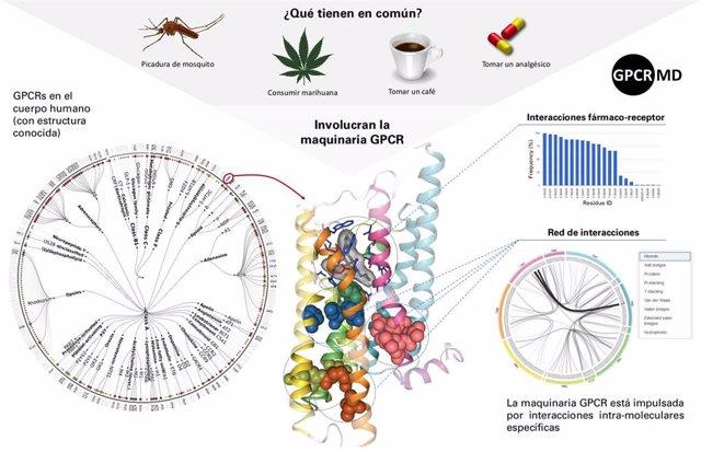 Diagrama sobre la intervención de los receptores acoplados a la proteína G (GPCRs), que tiene un papel fundamental en el 40% de los fármacos actuales, y que la nueva herramienta permitirá estudiar en detalle.