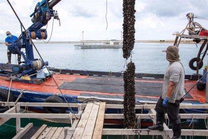 Las aguas del entorno portuario favorecen la producción de clòtxina valenciana
