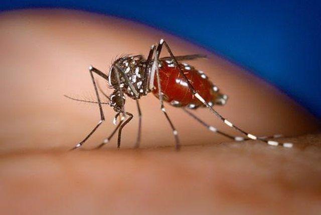 Aedes albopictus, mosquito tigre hembra alimentándose de un huésped humano.