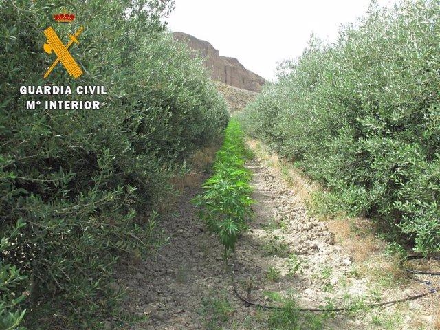 Plantas de marihuana entre olivos