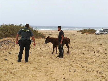 Rescatan a seis burros majoreros abandonados en las proximidades de Cofete