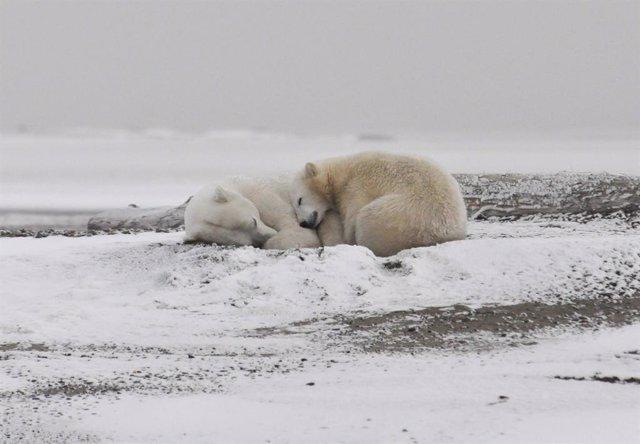 Clima.- Un estudio advierte de la extinción casi total de los osos polares para