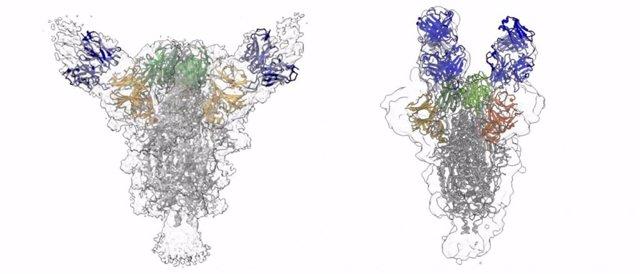 Las reconstrucciones muestran cómo dos anticuerpos diferentes (azules) se unen a la proteína de punta del virus del SARS-CoV-2.