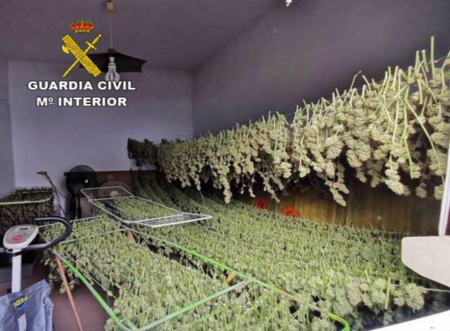 Sevilla.- Sucesos.- Cuatro detenidos en Utrera con un cultivo de 741 plantas de marihuana y varias armas de fuego