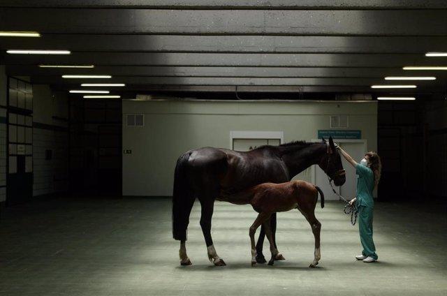Una veterinaria pasea a dos caballos durante la visita de la presidenta de la Comunidad, Isabel Díaz Ayuso, al Hospital Clínico Veterinario de la Universidad Complutense de Madrid (UCM) y la sede de Vigilancia Sanitaria Veterinaria (VISAVET)