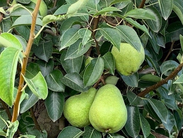 Agro.- La previsión de cosecha de manzana en Catalunya cae un 16% y un 7% en per