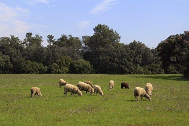 Ovejas en Extremadura