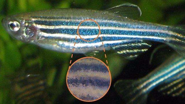 Acércate al patrón del pez cebra y las rayas se resolverán en células de pigmento individuales, como una pintura puntillista