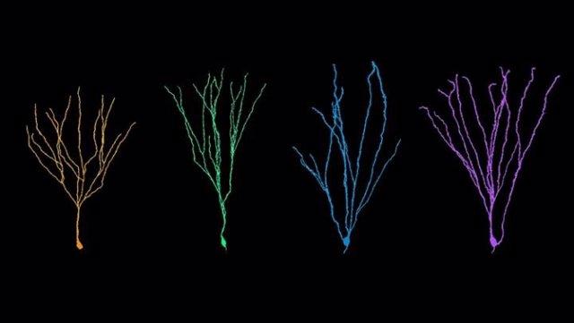 Dendritas. Las neuronas nacidas en adultos crecen más que sus contrapartes nacidas en la infancia.