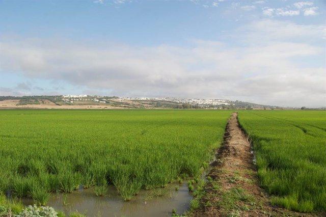 Arrozal en Benalup