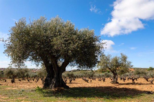 Campo de olivos en las inmediaciones de la localidad de Campo Real, al sureste de Madrid.
