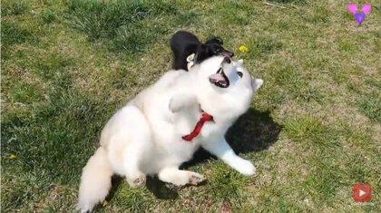 El dueño de este perro consigue que su Husky pierda peso usando flores