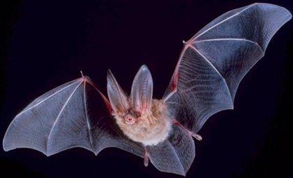 El nuevo coronavirus lleva entre 70 y 40 años en los murciélagos