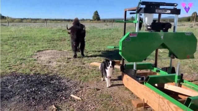 Este perro reacciona de manera hilarante a la presencia de un búfalo
