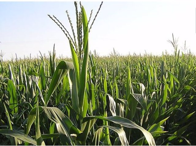 Cooperativas Agro-alimentarias Extremadura prevé una cosecha de cereales que sup