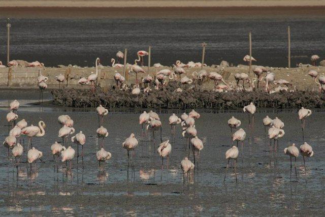 Flamencos en la Laguna de Fuente de Piedra en 2020