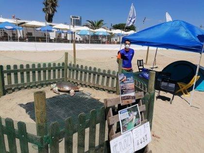 Barcelona busca voluntarios para proteger un nido de tortuga boba en la playa de la Mar Bella