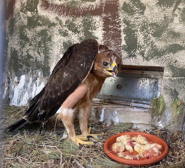 Ejemplar del polluelo de águila Bonelli.