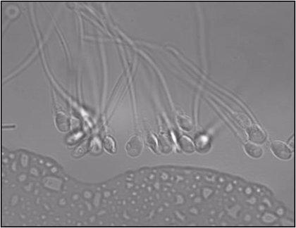 Los espermatozoides no nadan como se creía hasta ahora