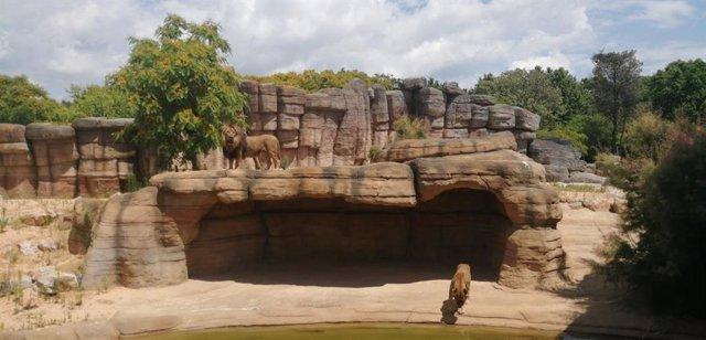El nuevo espacio de la sabana del Sahel para los leones en el Zoo de Barcelona