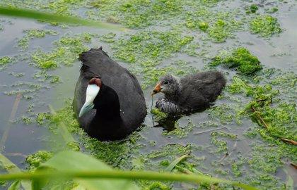 Una pareja de fochas cornudas, en peligro de extinción, reproduce tres polluelos en el Oceanográfic