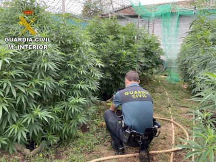 Detenido un vecino de Barro e intervenida una plantación de marihuana