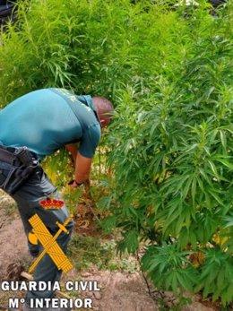 Agente de la Guardia Civil en una plantación de marihuana intervenida en El Ejido (Almería)