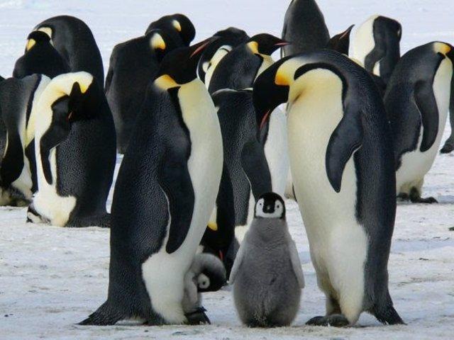 Científicos descubren nuevas colonias de pingüinos desde el espacio