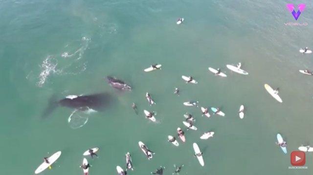 Un drone captura el momento en que una ballena y su cría juegan a escasos centímetros de un grupo de surfistas en Australia