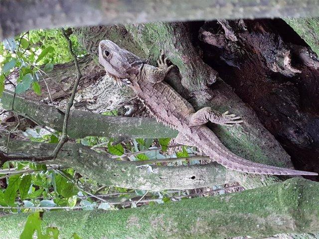 Tuatara, reptil raro cuyos antepasados ??alguna vez recorrieron la tierra con los dinosaurios