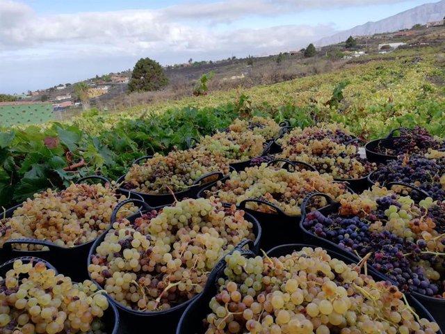 Jornada de vendimia en La Palma