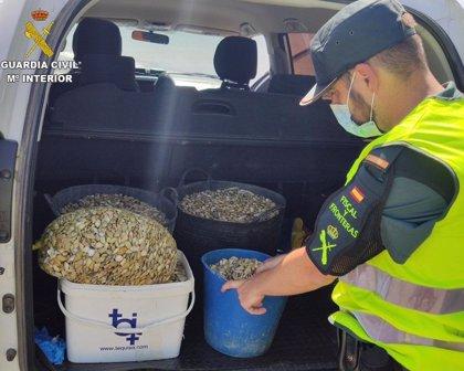Doce actas de denuncia e intervenidos 240 kilos de coquinas en Ayamonte (Huelva)