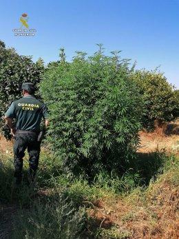 Agentes de la Guardia Civil en la finca usurpada para planta marihuana