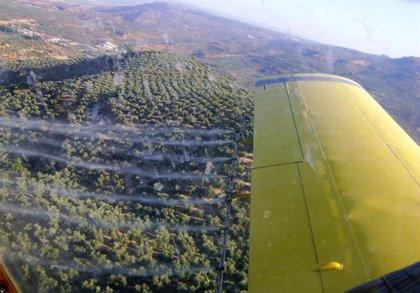 La Junta autoriza el tratamiento aéreo contra la mosca en los olivares de la DOP Baena