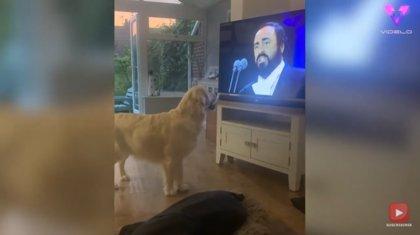 Este perro se pone a aullar cuando escucha óperas de Luciano Pavarotti