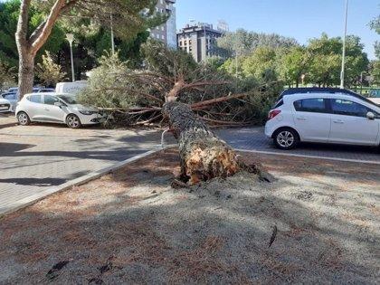 La caída de un árbol en la calle La Rioja de Pamplona provoca daños materiales en varios vehículos aparcados