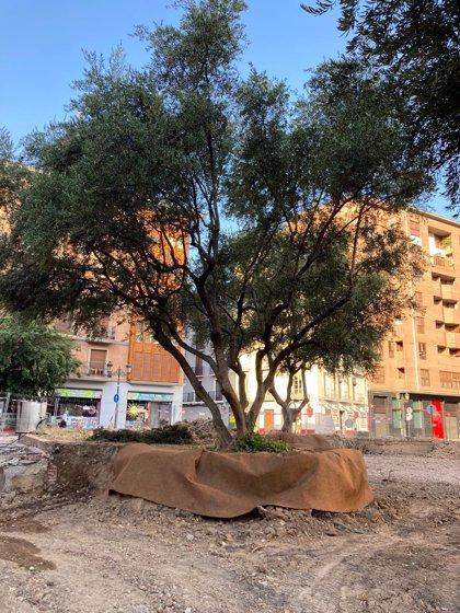Comienzan los preparativos para el inicio de las labores de trasplante de los olivos de la plaza de Salamero
