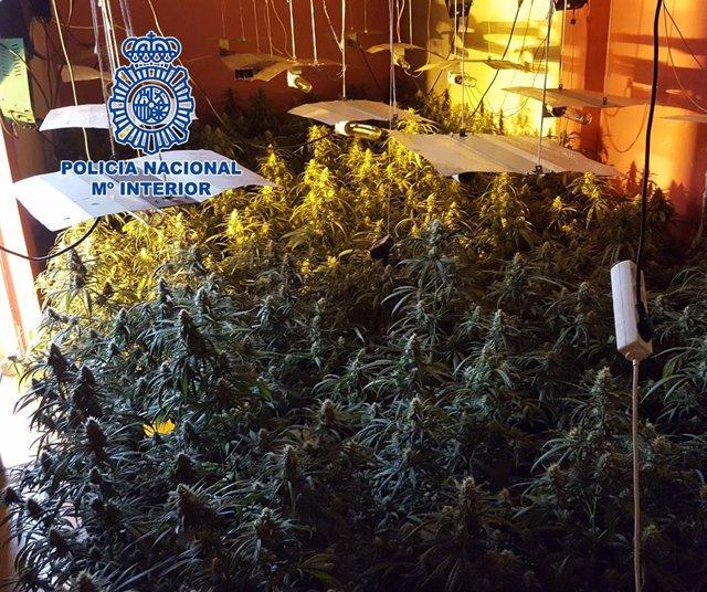 Plantas de marihuana aprehendidas en Los Almendros