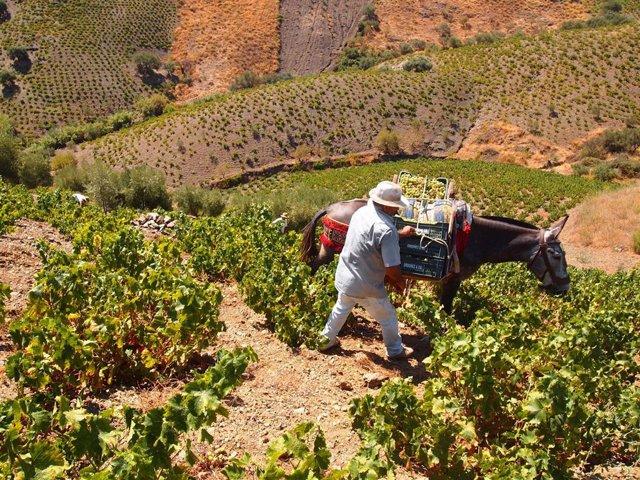 Vendimia axarquía bodegas jorge ordoñez viñedos mula agricultor pasas mula mano