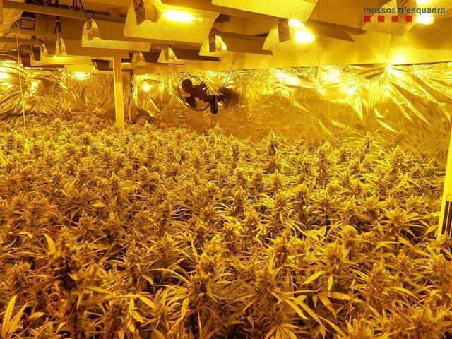 Plantació de marihuana al Prat de Llobregat (Barcelona) per la qual els Mossos d'Esquadra han detingut vuit homes, que han ingressat a la presó provisional per un presumpte delicte contra la salut pública.