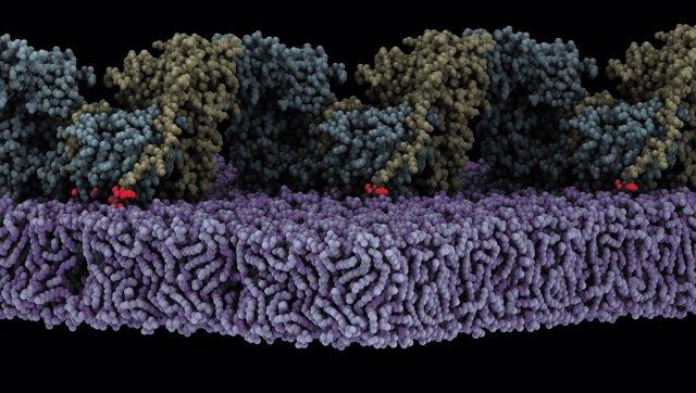 El ensamblaje de la forma oligomérica de FAK (amarillo/cian) en la membrana (morado) desencadena la autofosforilación. Se muestra un estado en el que el sitio de autofosforilación (rojo) está unido al sitio activo de la quinasa FAK