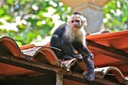 El capuchino de cara blanca ( Cebus capucinus )